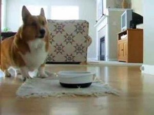 Excited Corgi Does Cutest Kibble Dance