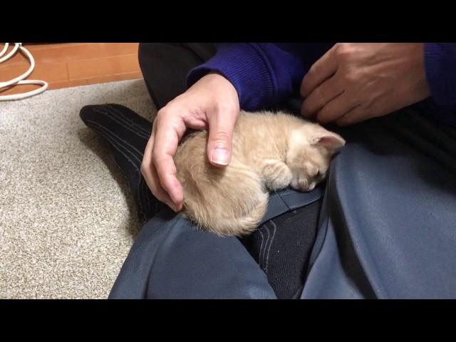 Cute Kitten Keeps Coming Back to Sleep on Lap