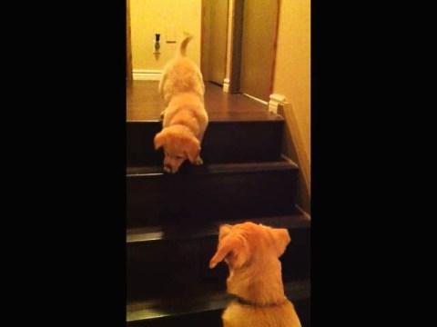 Dog Teaches Cute Puppy To Walk Downstairs