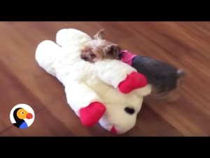 Tiny Yorkie Picks Out Biggest Toy In The Pet Store