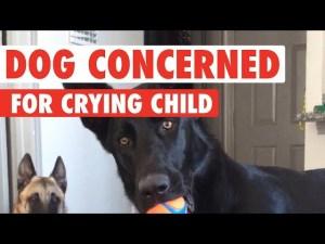 German Shepherd Has Hilarious Reaction To Child Crying