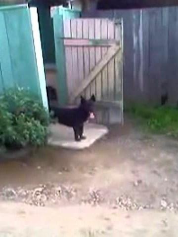 (VIDEO) Funny Doorman Dog