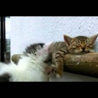 Kitten Tries Waking Up His Friend
