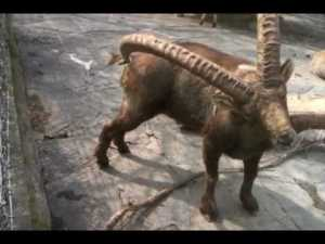 Funny Ibex With An Itchy Bum