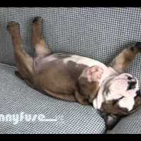 Cute Sleeping Bulldog Puppy