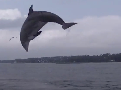 Wild Bottlenose Dolphins Jumping Out Of Water