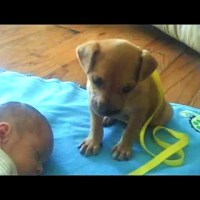 Sleepy Puppy Falls Asleep On Baby