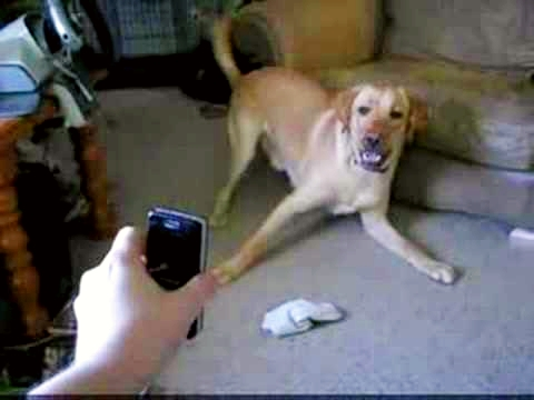 Dog Reacts to Phone