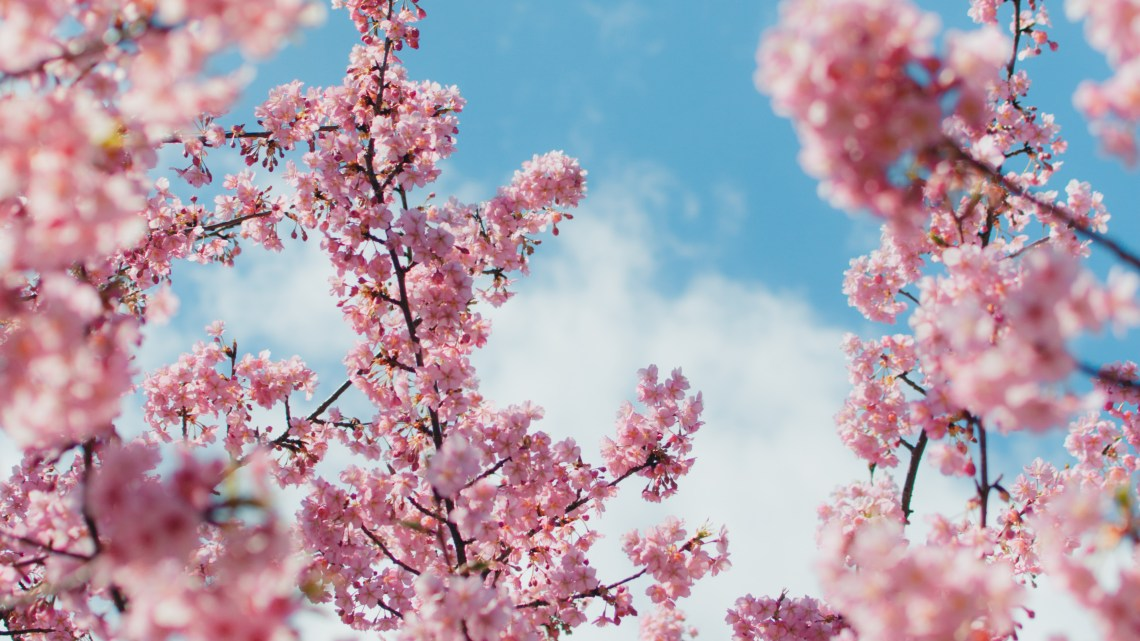 41 Epic Cherry Blossom Wallpaper Anime 4k Images Anime Wallpapers