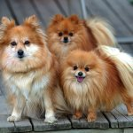 Pomeranian Puppies Wallpapers Posted By John Tremblay