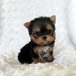 Teacup Yorkie Wallpaper Posted By Michelle Mercado