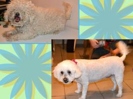 Matted Bichon Grooming