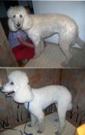 Groomed standard poodle with whitening shampoo.