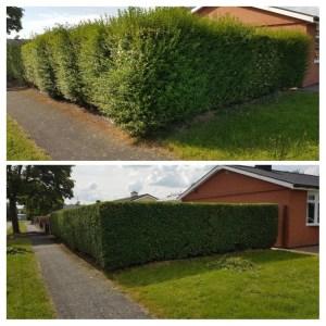 professional hedge cutting