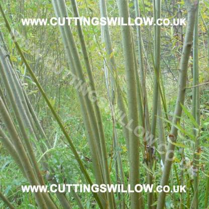 willow cuttings uk ireland