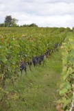 Grape rows