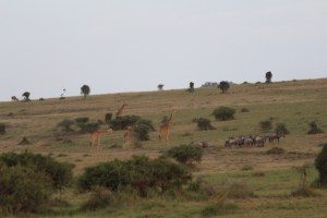 Maasai Giraffe and Wildebeest