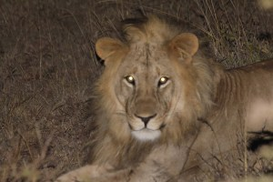 Osapuk, the lion positively identified by Lion Guardians as having migrated here from Amboseli area (and one of his parents was from Tsavo!)