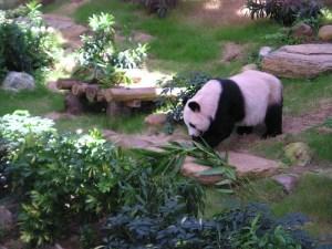 HONG KONG - панда в зоопарка