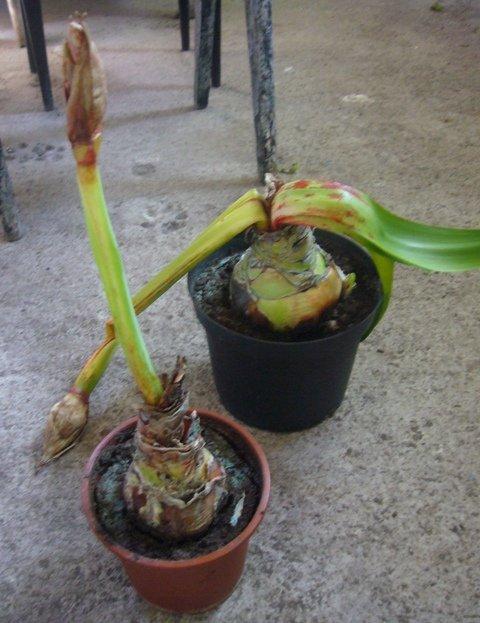 Почему у амариллиса желтеют листья – красная гниль