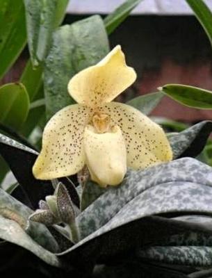 Божественная королева цветов венерин башмачок