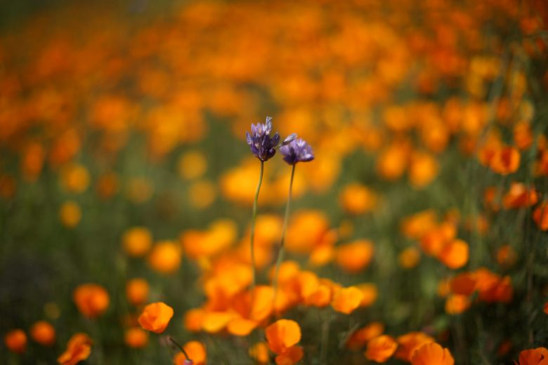images/Wildflower Bloom/2017-03-15T025945Z_1_LYNXMPED2E04X_RTROPTP_4_CALIFORNIA-FLOWERS