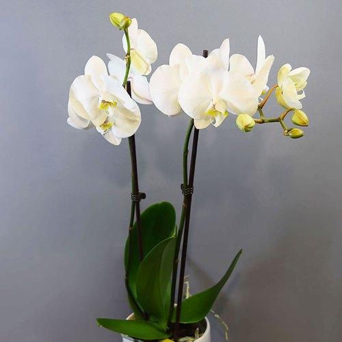 dostava-cvijeće-u-tegli-phalaenopsis-orhideja