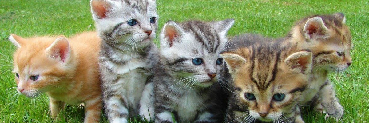 MU Researchers Study Cat Genomes to Treat Human Allergies