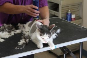 Cat grooming in Tucson