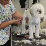 Lhasa Apso grooming available in Tucson