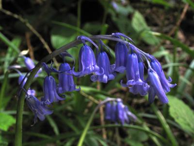 Bluebells - - Diana Walker