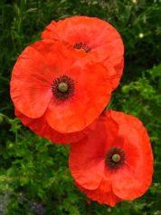 Poppy - Diana Walker