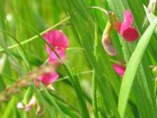 Lathyrus nissolia - Grass vetchling