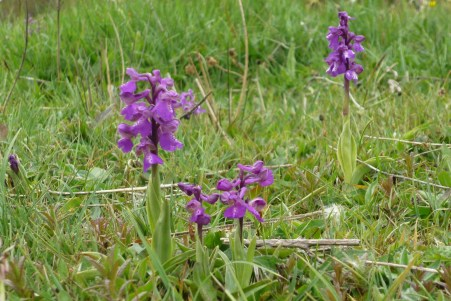 Green-winged Orchid, Anacamptis morio - Phil Gait