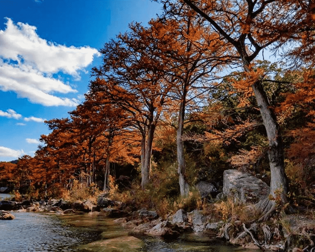 Fall view of bald cypress trees