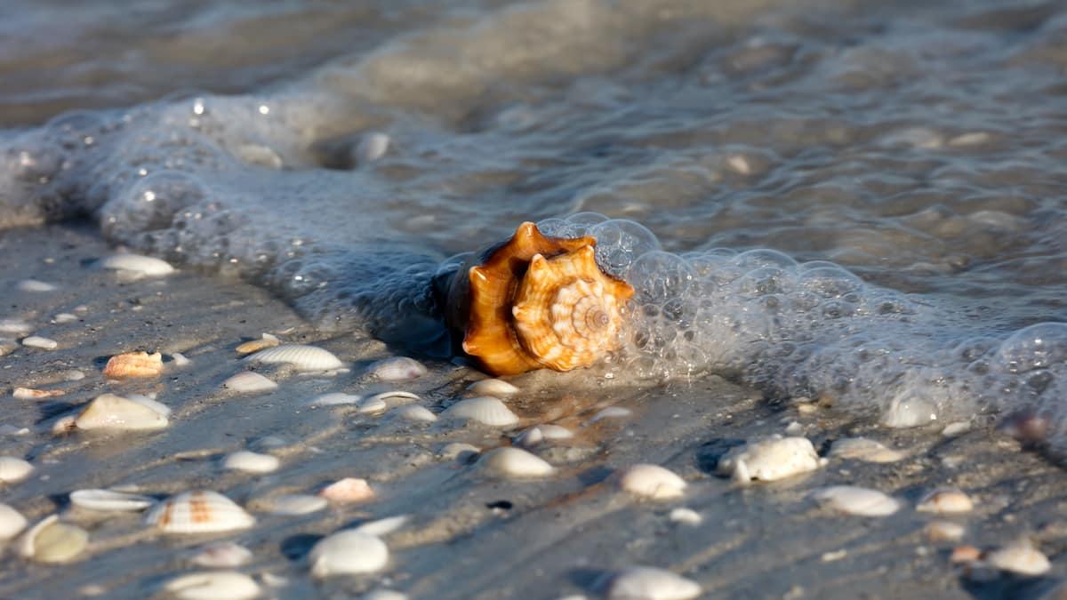 sanibel-seashells-florida
