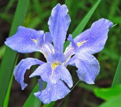 irises six