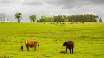 cow_on_field_1 copy