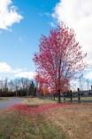 red_tree_1 copy