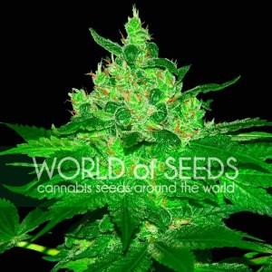 Afghan Kush Feminized Seeds (World of Seeds)