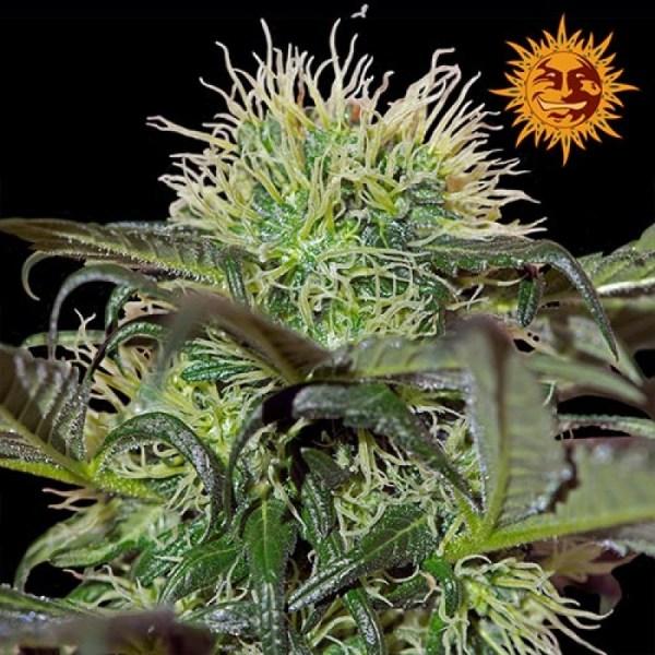 Bad Azz Kush Feminized Seeds (Barney's Farm)