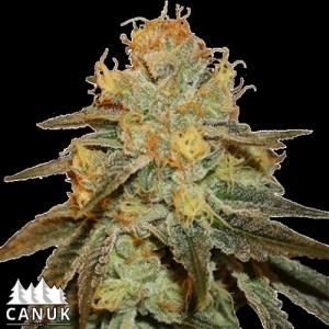 Bruce Banner Auto Feminized Seeds (Canuk Seeds)