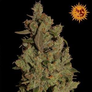 CBD Critical Cure Feminized Seeds (Barney's Farm)