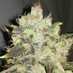 CBDurban Feminized Seeds (Bulk Seeds)