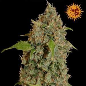 Chronic Thunder Feminized Seeds (Barney's Farm)