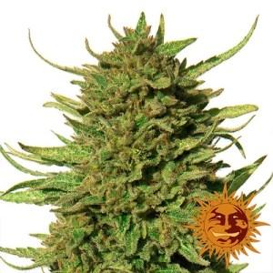 Critical Kush REGULAR Seeds (Barney's Farm)