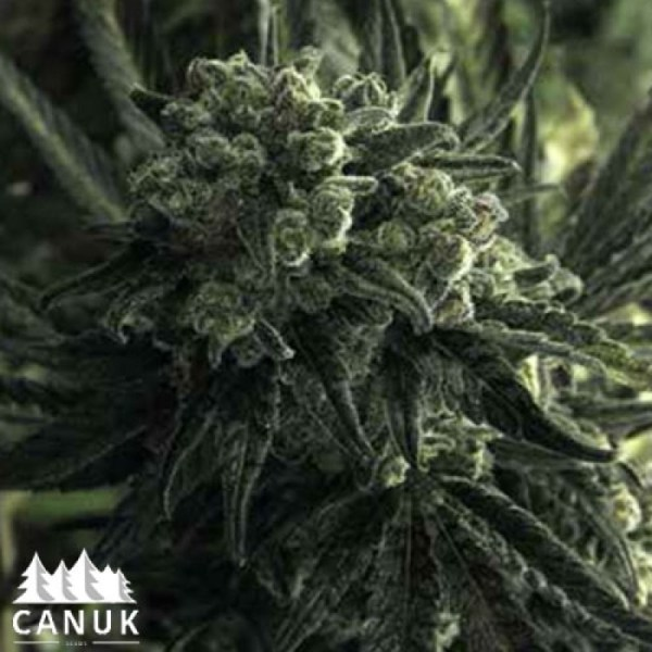 Critical Mass Feminized Seeds (Canuk Seeds)