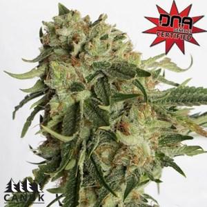 Gold Rush Feminized Seeds (Canuk Seeds) - ELITE STRAIN