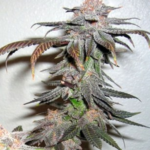 Grand Daddy Purps Regular Seeds (Bulk Seeds)