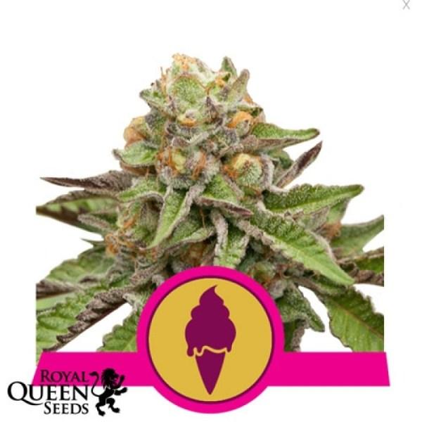Green Gelato Feminized Seeds (Royal Queen Seeds)